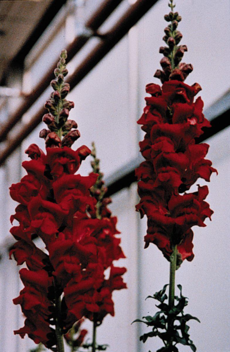 Monaco Red Snapdragon (Non-Organic)