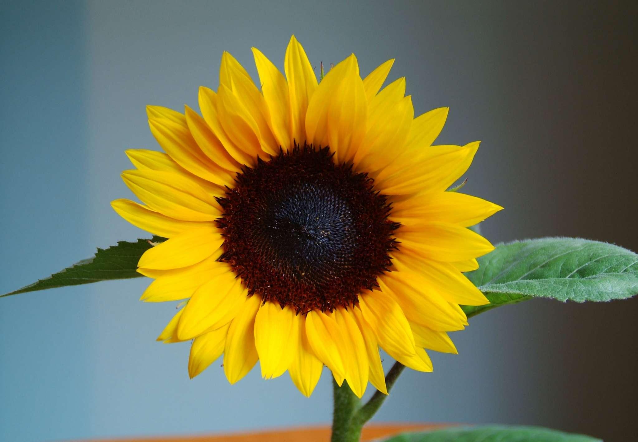 Jua Maya Sunflower (Non-Organic)