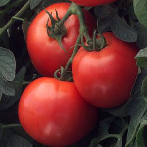 Bush Early Girl Grafted Tomato