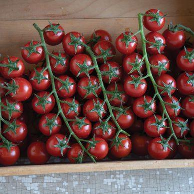 Edox Grafted Tomato