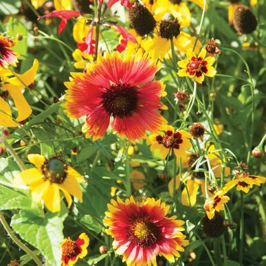 Xeriscape Mix Eastern US Assorted Wildflowers