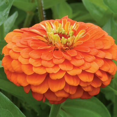Benary Giant Orange Zinnia