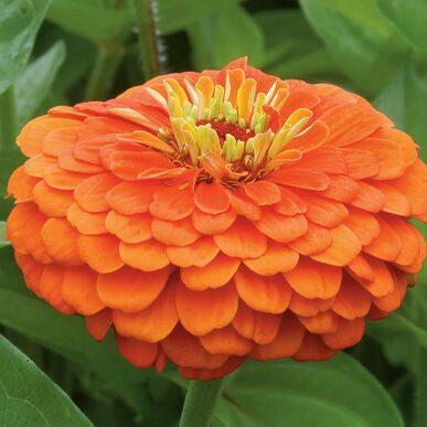 Benary Giant Orange Zinnia
