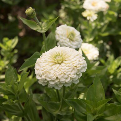 Benary Giant White Zinnia