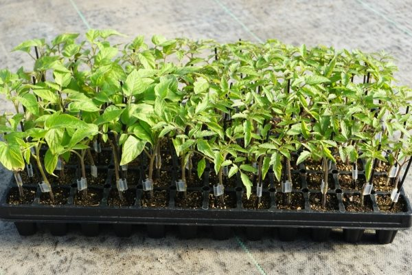 Heirloom Mix Grafted