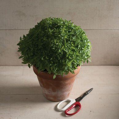 Spicy Bush Basil