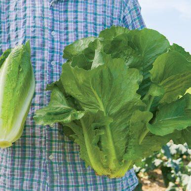 Sparx Lettuce