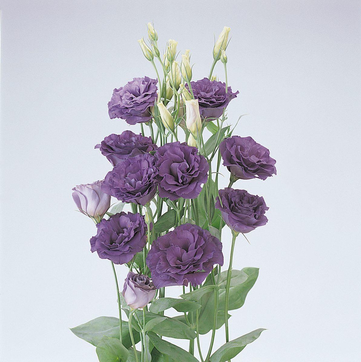 ABC 1 Purple Lisianthus (Non-Organic)