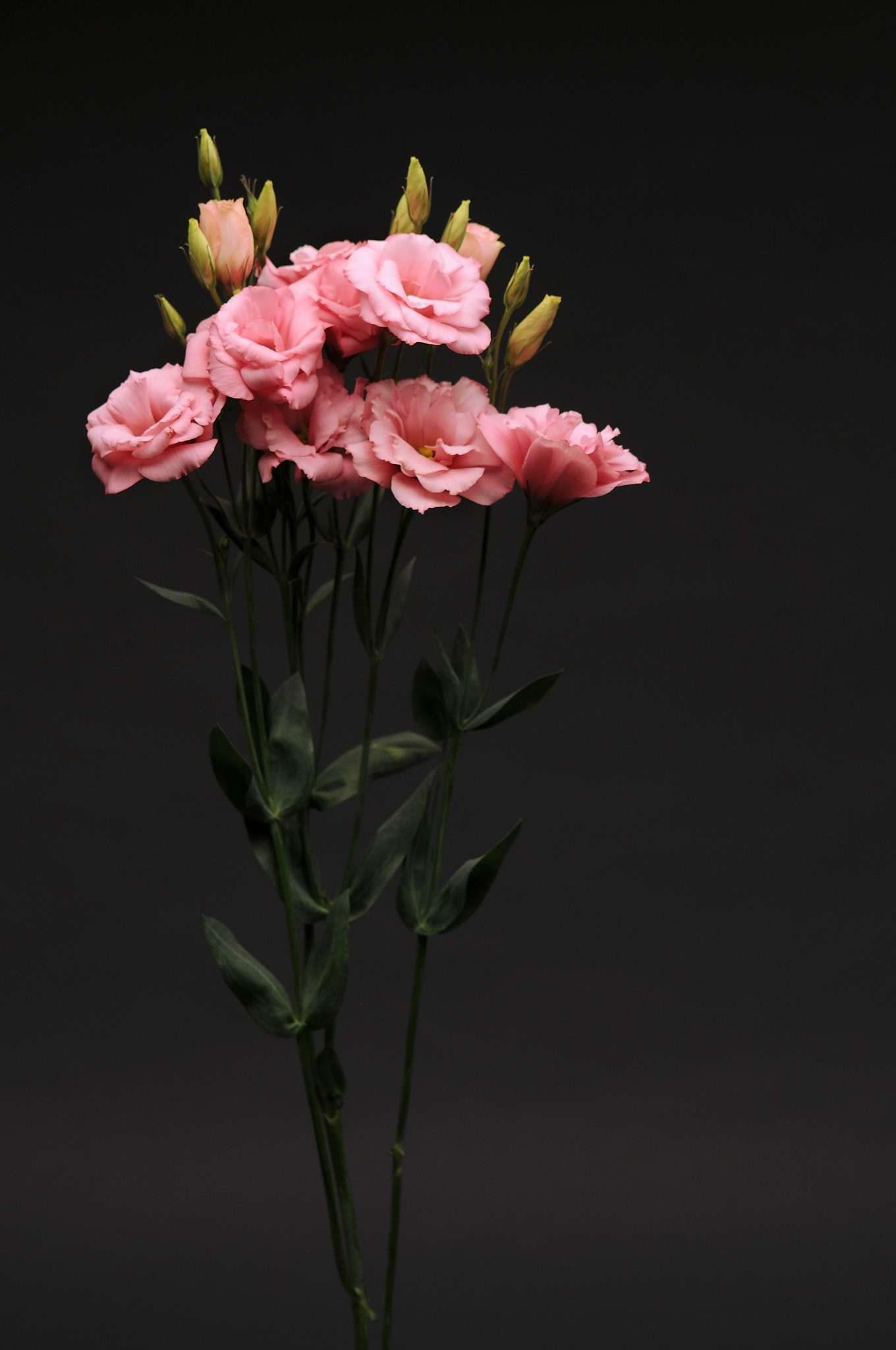 Flare Deep Rose Lisianthus (Non-Organic)