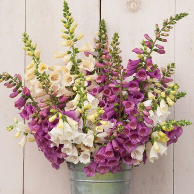 Digitalis Camelot Mix