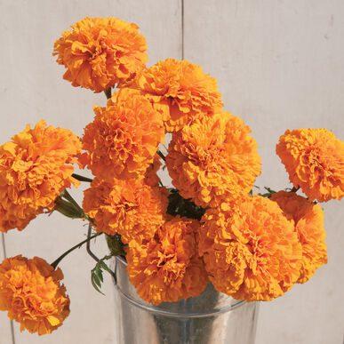 Giant Marigold