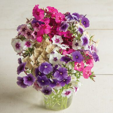 Art Shades Mix Phlox