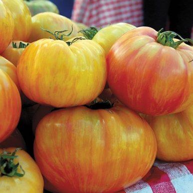 Copia Grafted Tomato